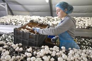 вакансия для фермеров сбор грибов, клубники и прочее